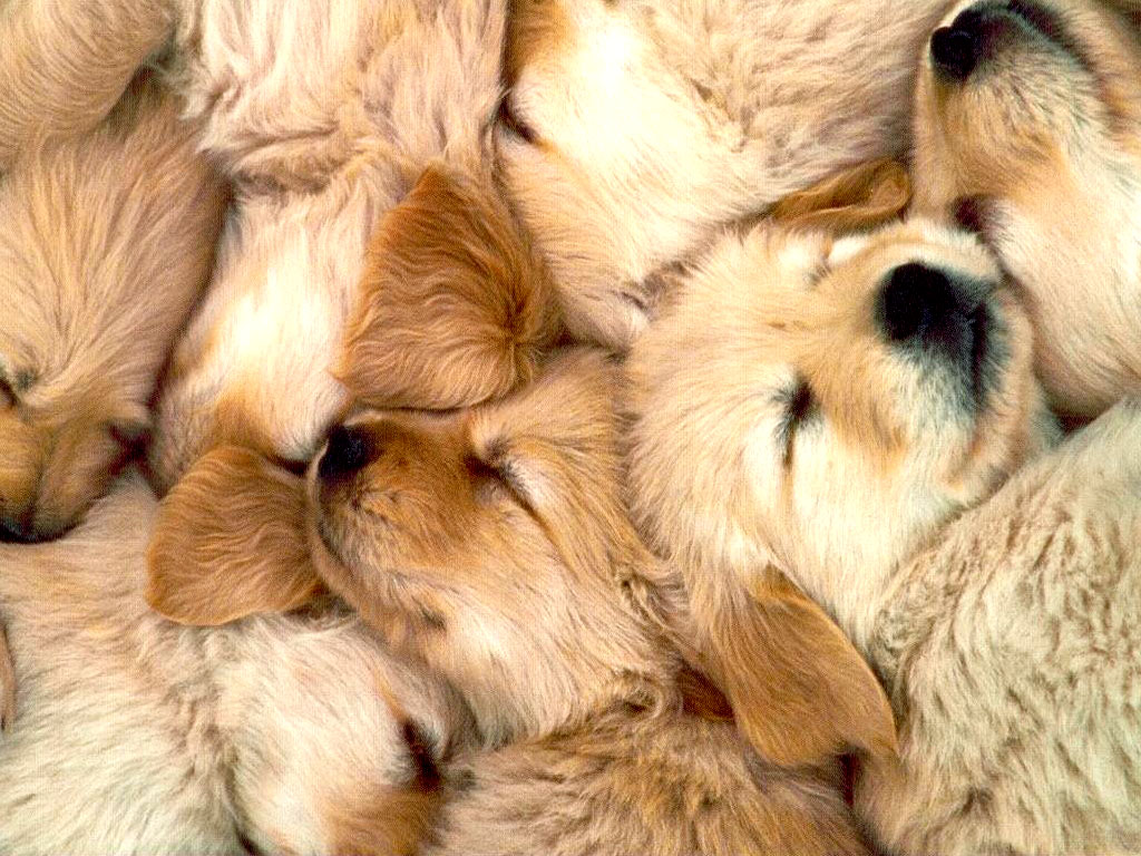 Golden Retriever Wallpapers Movie Hd Wallpapers
