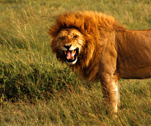 angry-lion-hd-wallpapers-cool-top-images