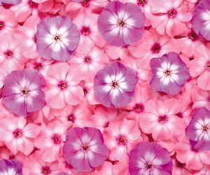 Pink Flowers Wallpapers