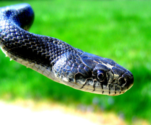 Black Rat Snakes taken at my home in northern MD