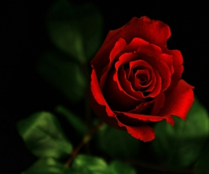 red-rose-hd-pics-2