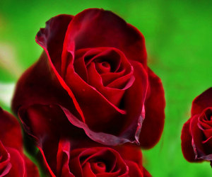 Red Roses HD Desktop Background