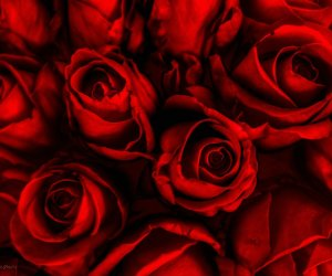 rose-backgrounds-download-free-rose-red-roses-hd