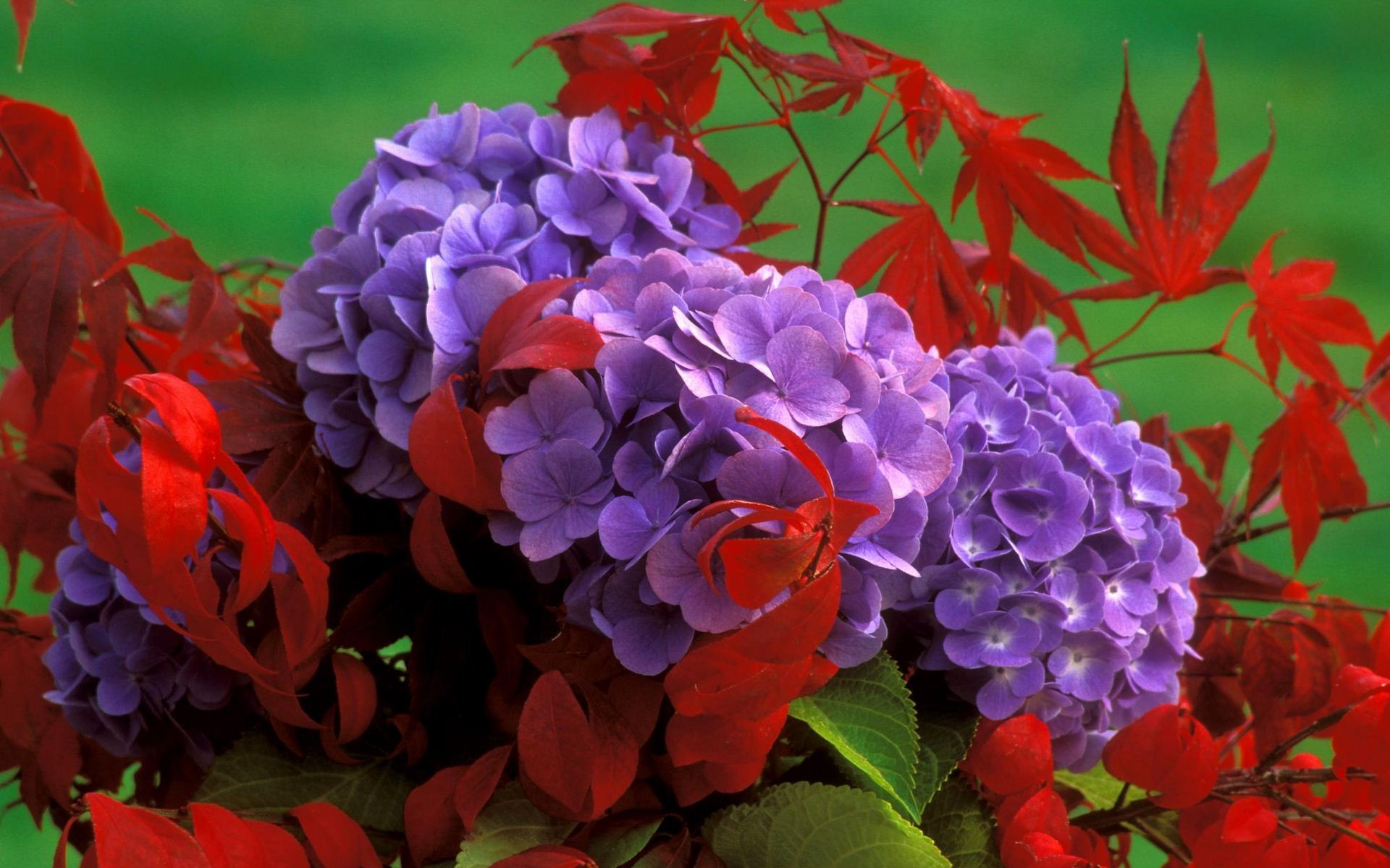 hydrangea-and-fall-leaves