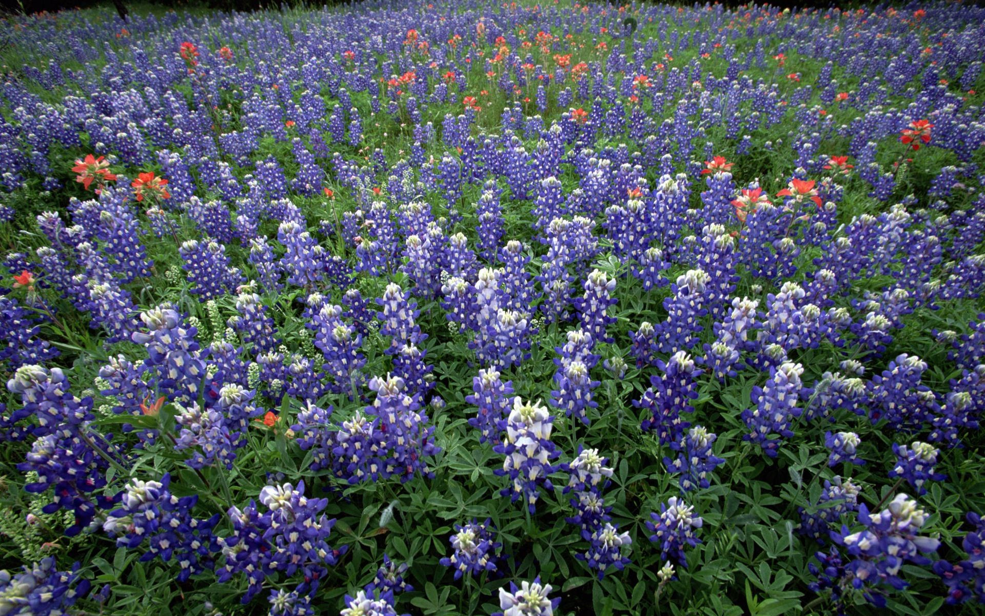 indian-paintbrush-and-texas-bluebonnets_hill-country_texas