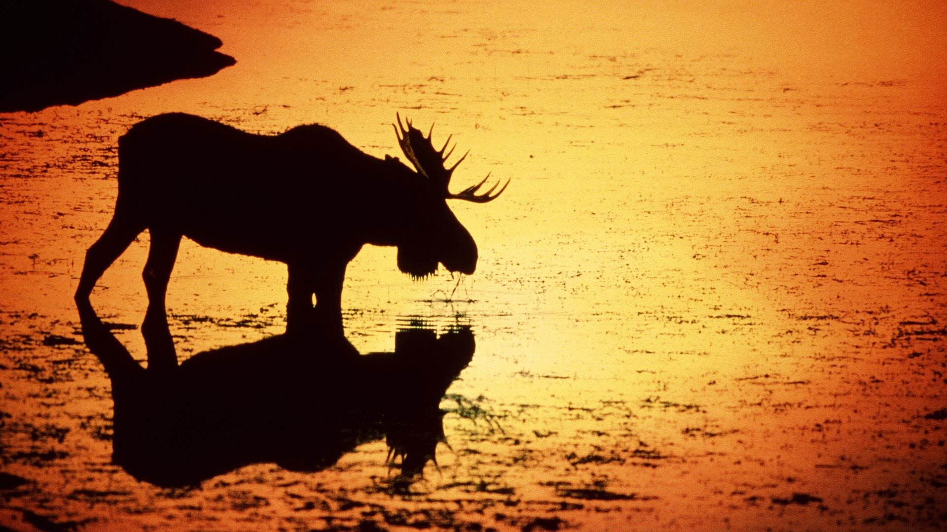 moose-in-silhouetted-in-the-snake-river-wyoming