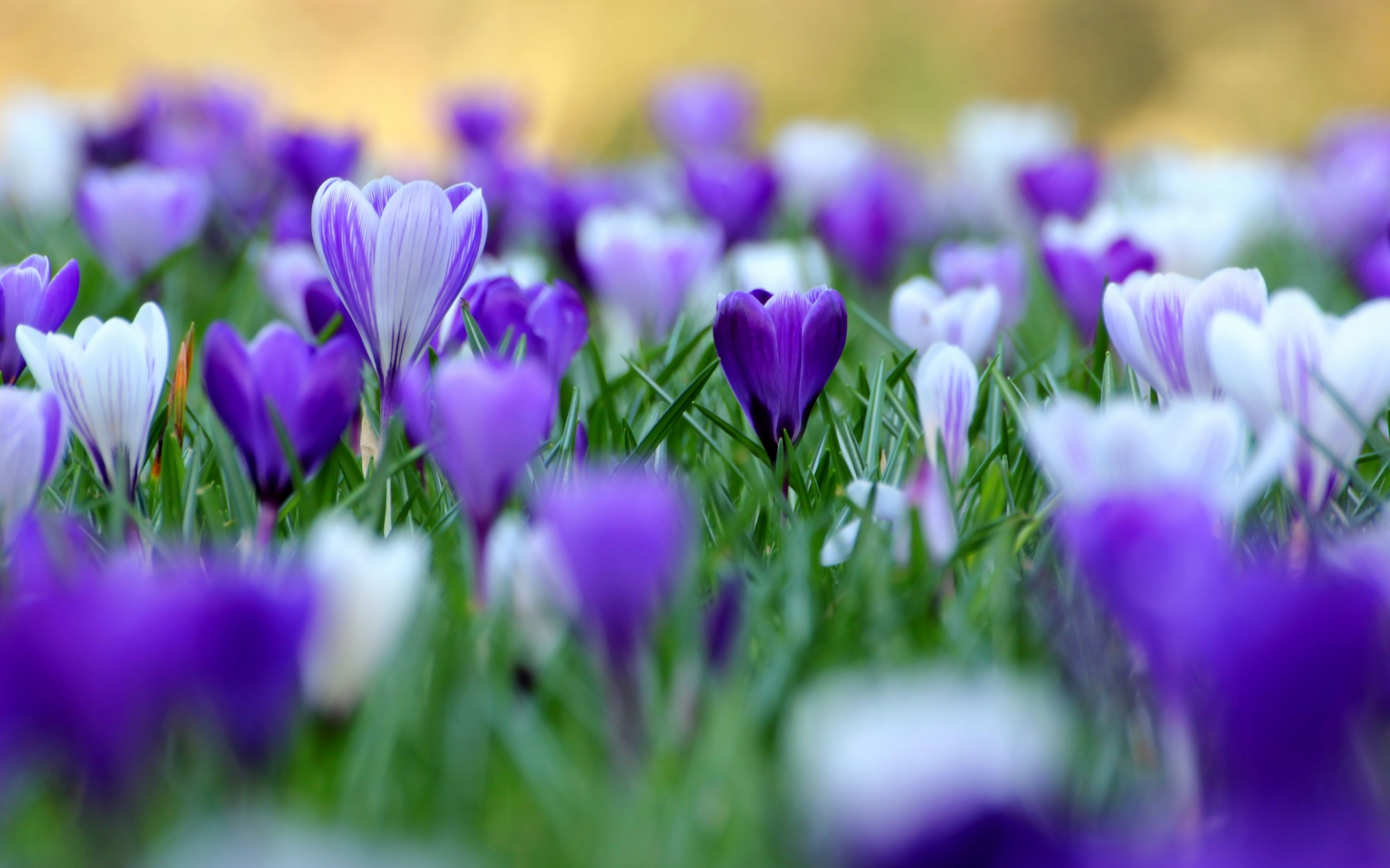 Purple Flowers Wallpapers - Page 13587 - Movie HD Wallpapers